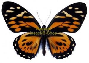 Papilio zagreus 1