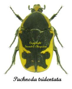 pachnoda-tridentata