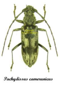 Pachydissus camerunicus 1