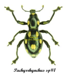 Pachyrrhynchus SP#1 1