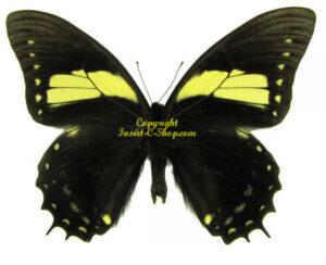 Papilio aristeus bitias 1