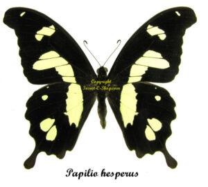 Papilio hesperus 1