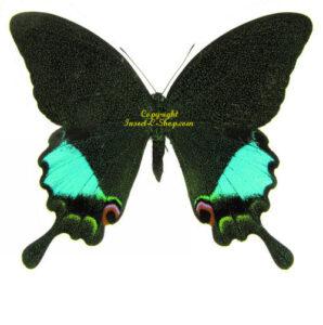 Papilio karna karna 1