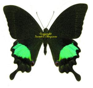 Papilio paris gedeensis 1