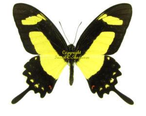 Papilio torquatus 1