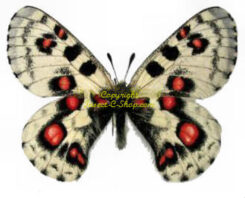 Parnassiidae