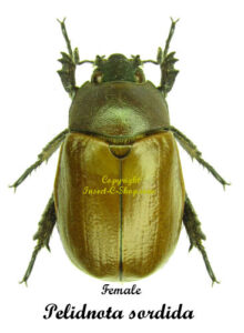 pelidnota-sordida-female