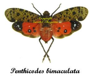 Penthicodes bimaculata(Spread)    1