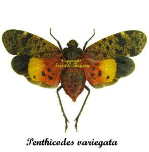 Penthicodes variegata (Spread)    1