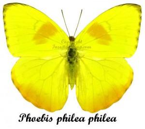 Phoebis philea philea 1