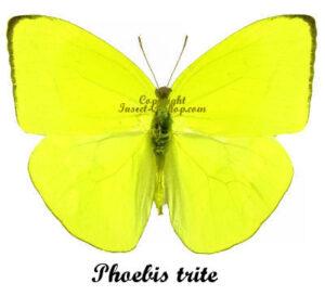 Phoebis trite 1