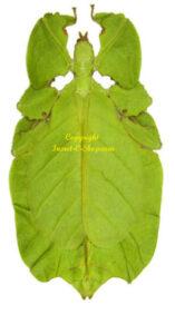 Phyllium pulchrifolium(green form) 1