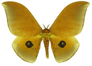Pseudobunaea alinda 1