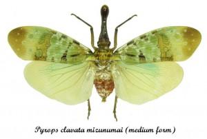 pyrops-clavata-mizunumai-medium