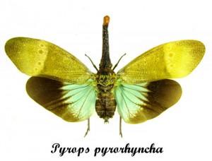 Pyrops pyrorhyncha       1