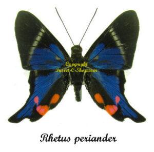 Rhetus periander 1