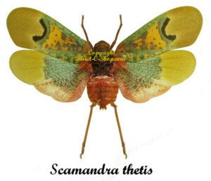 Scamandra thetis(Spread)  1