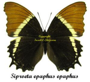 Siproeta epaphus epaphus 1
