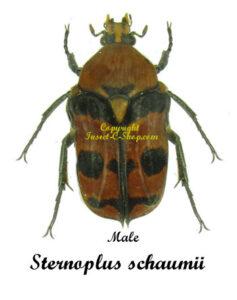 Sternoplus Schaumill  1