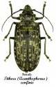 Tithoes (Acanthophorus) confinis  1