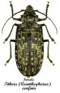 Tithoes (Acanthophorus) confinis  1
