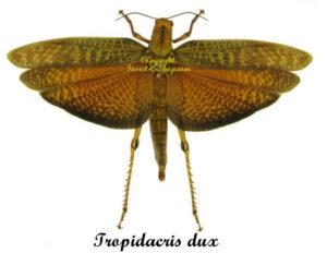 Tropidacris dux(not spread) 1