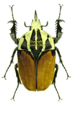 Mecynorhina