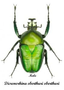 Dicronorrhina oberthuri  ssp