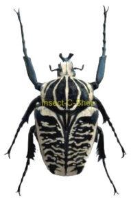 Goliathus albosignatus ssp. albosignatus  ab