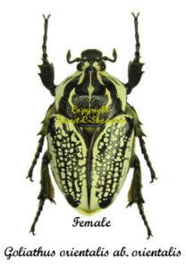 goliathus-orientalis-female