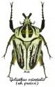 Goliathus orientalis ssp. orientalis ab