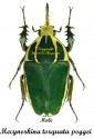 Mecynorhina torquata poggei (without white spots) 1