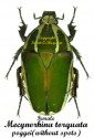 mecynorhina-torquata-poggei-without-red-f
