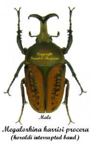 Megalorhina harrisi Procera(haroldi Interrupted Band form) 1