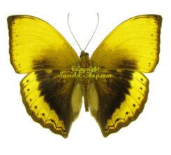 Africa - Nymphalidae