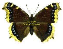 America / Europe - Nymphalidae