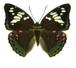 Asia / Oceania -Nymphalidae