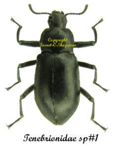 Tenebrionidae sp#1 1