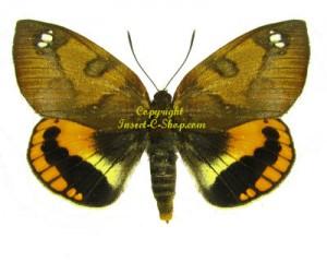 castnia(Athis)fuscorubra