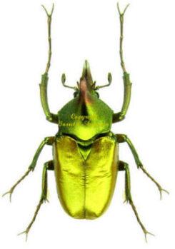 Cetonidae