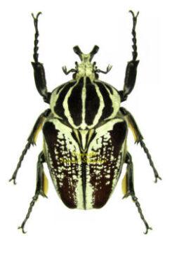 Africa - Cetonidae