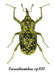 curculionidae-togo-sp10