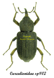 curculionidae-togo-sp12