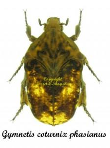 gymnetis-coturnix-phasianus