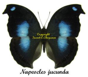 napeocles-jucunda-m