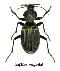 tefflus-meyerlei-togo