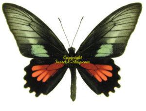 parides-neophilus-m
