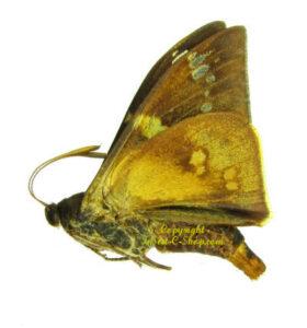 mirocastnia-pyrrhopygoides -male