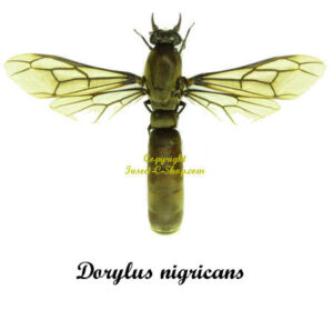 dorylus-nigricans