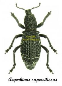 aegorhinus-superciliosus